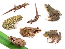 Amphibies et reptiles d'isolement sur le blanc images libres de droits