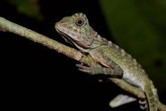 Amphibies et reptiles dans Sabah photos stock