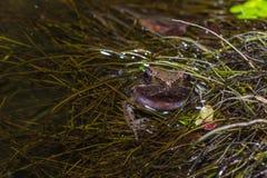 Amphibies, grenouille dans la piscine photos stock