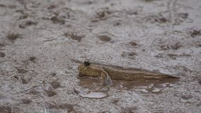 Amphibious Fish Mudskipper. Is trying to advance in mud in Bangpu Recreation Center in Thailand stock image