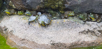 Amphibious Friends. Bullfrogs and turtles warm themselves in the sunshine on a large rock in a body of water such as a pond, lake, or river. Photographed in stock images