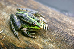Amphibious frog. The frog is photographed a lens 100-400 Stock Images