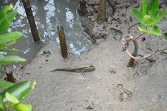 Amphibious or Mudskipper fish in Mangrove forest. Or Intertidal forest at Bangkhunthein in Bangkok Thailand. Mudskippers are members of the subfamily royalty free stock image