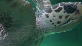 Amphibious Sea Turtle Swimming Royalty Free Stock Photos