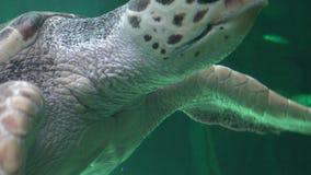 Amphibious Sea Turtle Swimming stock footage