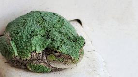 Eastern Grey tree frog resting negative space Stock Photos