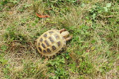 Amphibious turtle on the lawn. Amphibious turtle on a green lawn. paddock pet royalty free stock photo