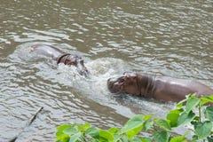 Amphibius бегемота гиппопотама воюя в воде Стоковое Изображение RF