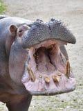 Amphibius бегемота бегемота Стоковые Фотографии RF