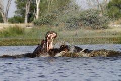 Amphibius бегемота Стоковое Изображение