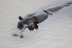 Amphibius бегемота Стоковое Фото