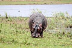Amphibius бегемота Стоковая Фотография