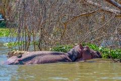 Amphibius d'hippopotame ou d'hippopotame Images libres de droits