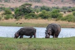 Amphibius do hipopótamo Fotos de Stock