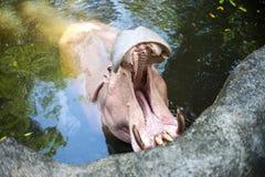 Amphibius do hipopótamo do hipopótamo com a boca grande aberta na água em Songkhla Tailândia imagens de stock