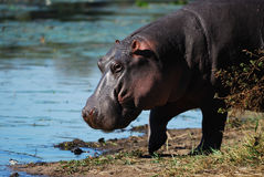 amphibius hipopotama hipopotam obrazy stock