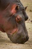 Amphibius Hippopotamus Hippo κλείστε επάνω Στοκ εικόνες με δικαίωμα ελεύθερης χρήσης