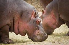 Amphibius Hippopotamus Hippo κλείστε επάνω Στοκ Εικόνες
