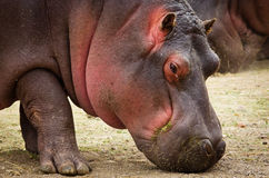 Amphibius Hippopotamus Hippo Στοκ Εικόνες