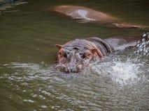 Amphibius van het portretnijlpaard stock afbeeldingen