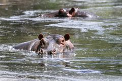 amphibiusflodhästflodhästar Arkivfoto