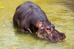 amphibiushippopotomus Royaltyfri Bild