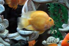 Amphilophus citrinellus Zdjęcie Stock
