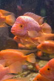 Amphilophus Citrinellus Fishes Royalty Free Stock Image