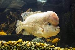 Amphilophus-citrinellus, gro?er Cichlidfisch endemisch stockfoto