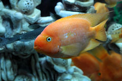 Amphilophus citrinellus Royalty Free Stock Photo