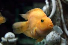 Amphilophus citrinellus ryba Obrazy Royalty Free