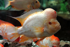Amphilophus citrinellus ryba Zdjęcie Stock