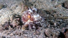 Amphioctopus marginatus orCoconut ośmiornica Zdjęcia Royalty Free