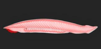 Amphioxus illustrazione di stock