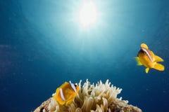 amphipiron anemonefish Ερυθρά Θάλασσα bicinctus Στοκ εικόνες με δικαίωμα ελεύθερης χρήσης