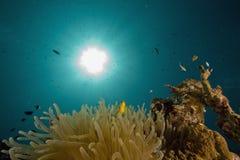 amphipiron anemonefish Ερυθρά Θάλασσα bicinctus Στοκ Φωτογραφία