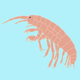 Amphipoda klein dierlijk, planktonorganisme Royalty-vrije Stock Afbeelding