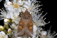 Amphipoea fucosa. Feeding closeup portrait Stock Photos
