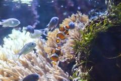 Amphiprion κλόουν ψαριών Στοκ φωτογραφία με δικαίωμα ελεύθερης χρήσης