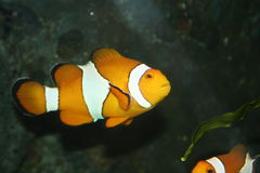 Amphiprion Royalty-vrije Stock Foto