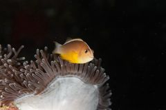 Amphiprion akallopisos - Andaman Sea Royalty Free Stock Photography