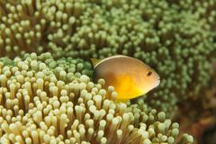Amphiprion akallopisos - Andaman Sea Royalty Free Stock Photos