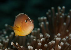 Amphiprion akallopisos - Similan islands, Thailand royalty free stock image