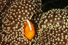 Amphiprion akallopisos - Skunk clown fish. This underwater picture was taken off Maratua island, East Kalimantan, Borneo Indonesia Stock Image
