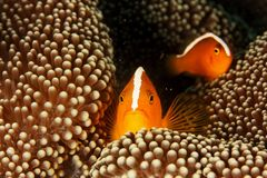 Amphiprion akallopisos - Skunk clown fish Royalty Free Stock Photos