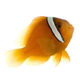 amphiprion anemonefish siodło ephippium Zdjęcie Royalty Free
