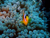 Amphiprion bicinctus and Entacmaea quadricolor. Amphiprion bicinctus (Red sea clownfish) with a Entacmaea quadricolor (bubble anemone) in the Red Sea royalty free stock photography