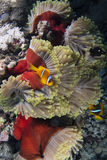 Amphiprion bicinctus and Heteractis magnifica Royalty Free Stock Photos