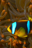 Amphiprion bicinctus - nemo - Clown fish Stock Photography