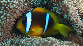 Free Amphiprion Bicinctus (Red Sea Clownfish) Stock Photo - 44038170